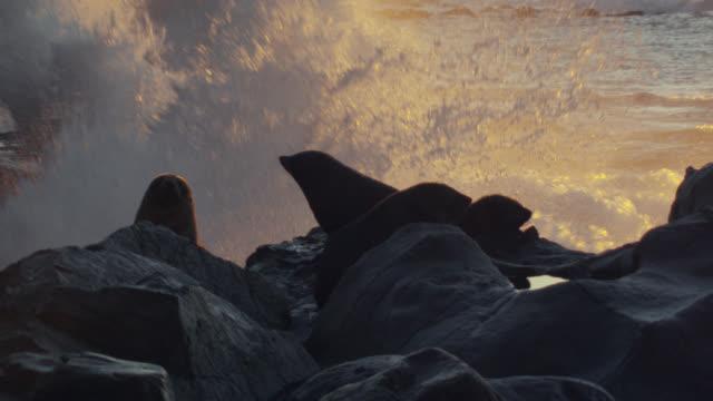 Fur seal (Arctocephalus forsteri) pups on rocky beach at sunset, New Zealand