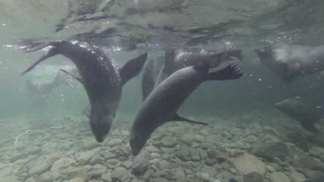 fur seal pups swim in forest pool, new zealand - 数匹の動物点の映像素材/bロール