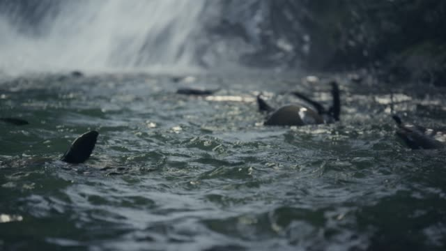 Fur seal pups swim in forest pool, New Zealand
