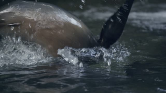 fur seal pups swim in forest pool, new zealand - seals stock videos and b-roll footage