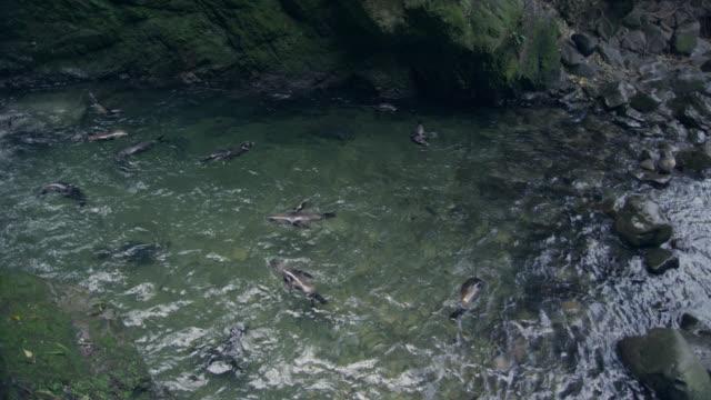 vídeos y material grabado en eventos de stock de fur seal (arctocephalus forsteri) pups swim in forest stream, new zealand - foca peluda