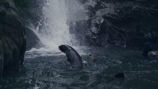 Fur seal (Arctocephalus forsteri) pups swim in forest stream, New Zealand