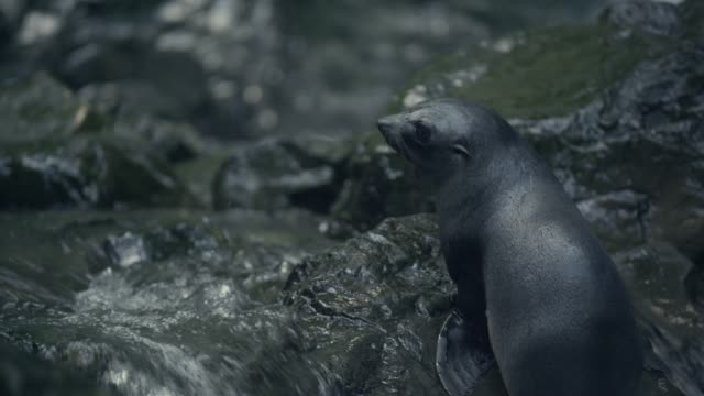 Fur seal pups swim in forest stream, New Zealand