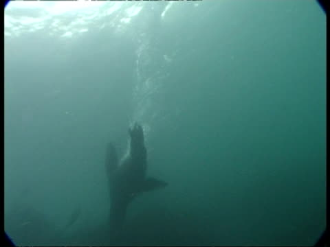 fur seal - ms seal dives down from surface & swims, fast & graceful swimming in misty blue water - 空気力学点の映像素材/bロール