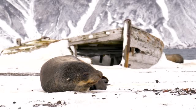 Fur seal sleeping next to an abandoned boat in Deception island