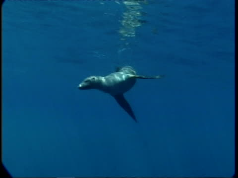 ms fur seal swimming underwater, guadalupe island, pacific ocean - aquatic organism stock videos & royalty-free footage