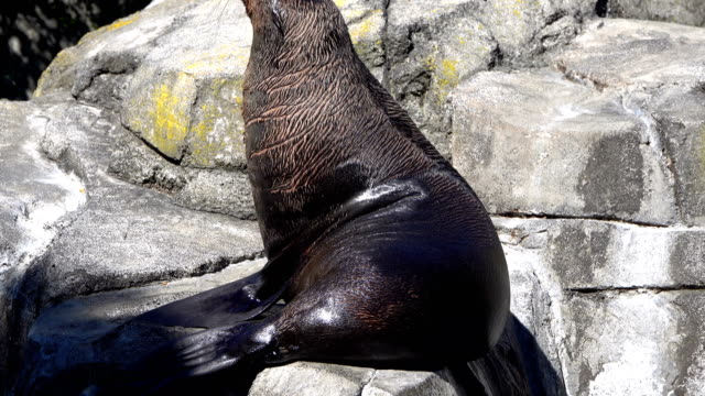fur seal - new zealand stock videos & royalty-free footage