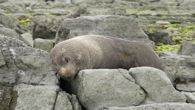 fur seal - kaikoura stock videos & royalty-free footage
