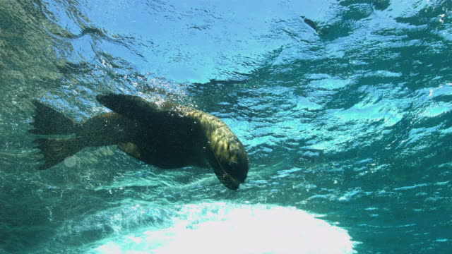 vídeos y material grabado en eventos de stock de fur seal - foca peluda