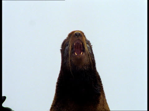 vídeos y material grabado en eventos de stock de a fur seal vocalizes with its mouth wide open. - foca peluda
