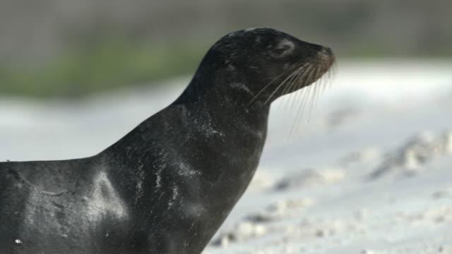 fur seal walking across beach - waddling stock videos & royalty-free footage