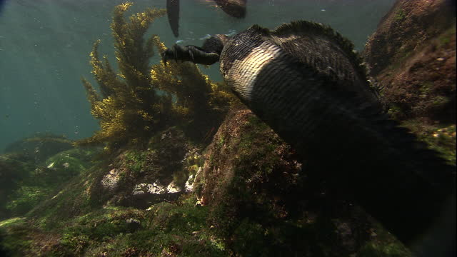 Fur seals annoy a marine iguana as it tries to eat. Available in HD.