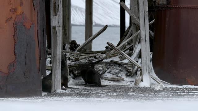 fur seals at whaling station - antarctic peninsula stock videos & royalty-free footage