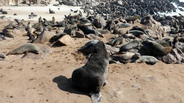 vídeos y material grabado en eventos de stock de fur seals colony - cape cross - foca peluda