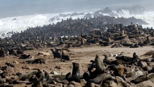 vidéos et rushes de fur seals colony - cape cross - otarie à fourrure
