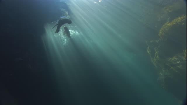 vidéos et rushes de fur seals frolic through the water lit by sunbeams. available in hd. - otarie à fourrure