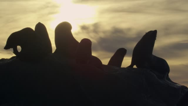 Fur seals on rocky beach at sunset, New Zealand