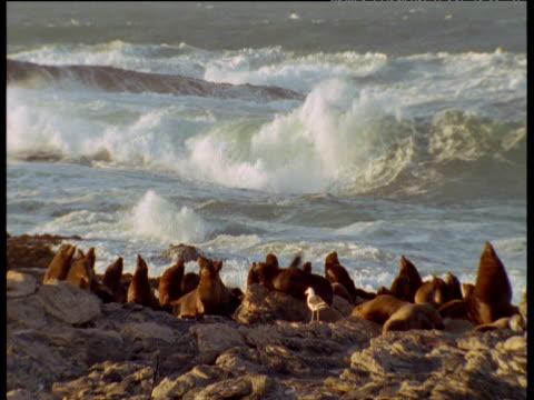 vídeos y material grabado en eventos de stock de fur seals on rocky coast with gulls hovering overhead, waves crash in background - foca peluda del cabo