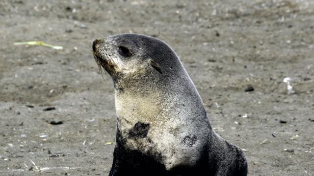 vídeos y material grabado en eventos de stock de lobos marinos en las planicies de salisbury de georgia del sur - foca peluda