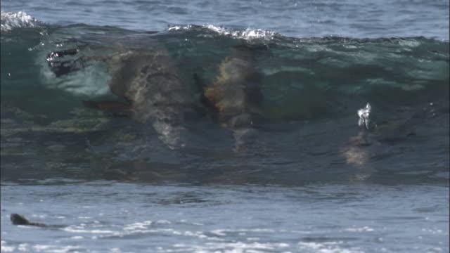 vidéos et rushes de fur seals surf in waves, fernandina, galapagos islands available in hd. - otarie à fourrure