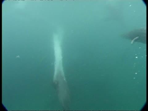fur seals - ms swim in misty blue water, fast & graceful swimming, one swims around camera, one rotates underwater. play. skill - 空気力学点の映像素材/bロール