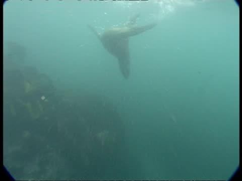 vídeos de stock, filmes e b-roll de fur seals - ms swim in misty blue water, pan one swimming just below surface - mamífero aquático