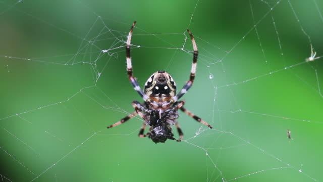 furrow spider (larinioides cornutus) - lebenszyklus stock-videos und b-roll-filmmaterial