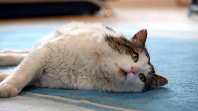 Furry cute cat laying down on the carpet.