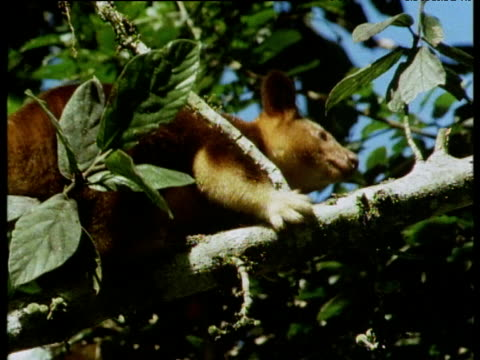 Furry Goodfellow's tree kangaroo clambering along leafy tree branch, almost falling off