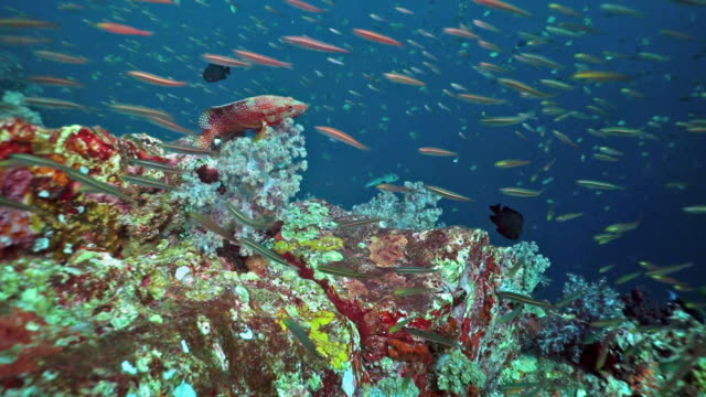 fusilier fish on vibrant coral reef - scuba diver point of view stock videos & royalty-free footage