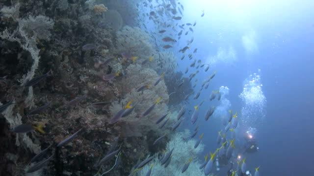 Fusilier fish schooling, coral reef, Raja Ampat, Indonesia