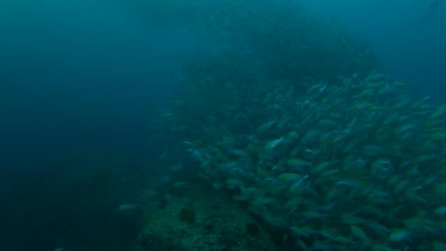 Fusilier fish schooling, fish tornado