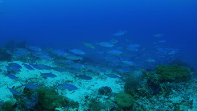 サンゴ礁におけるスクーリング火打ち石銃兵魚 - 野生生物保護点の映像素材/bロール