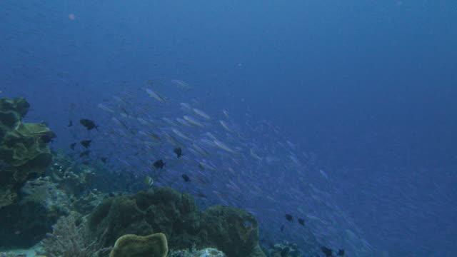 Fusilier Fish schooling in the reef undersea
