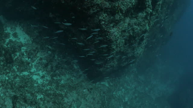 fusilier fish shoaling and schooling at undersea reef, taiwan - philippine sea stock videos & royalty-free footage