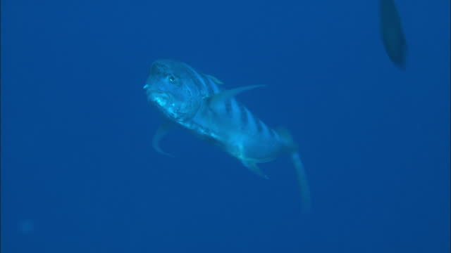 fusilier fish swim in the palau reef. - saltwater fish stock videos & royalty-free footage