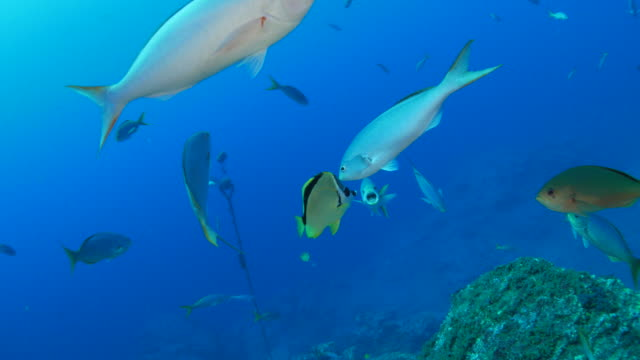 fusilier fish was cleaned by butterflyfish - butterflyfish stock videos & royalty-free footage