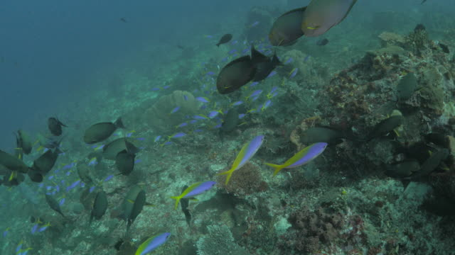 fusilier, surgeonfish, pufferfish and other coral fish in coral reef - balloonfish stock videos and b-roll footage