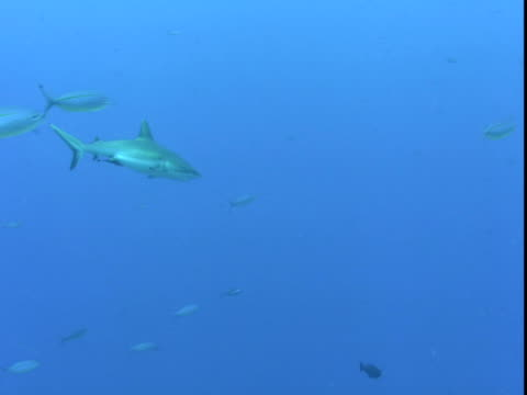 fusiliers and triggerfish dart past a grey reef shark. - grey reef shark stock videos & royalty-free footage