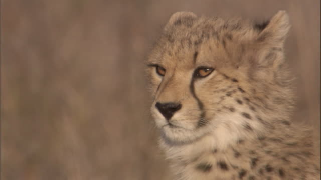 A fuzzy cheetah cub looks around. Available in HD.