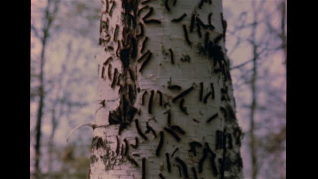 Fuzzy nonnative Gypsy Moth caterpillars on hardwood bark WS Many Gypsy Moth caterpillars on White Birch tree trunk branch PAN Nearby trees w/ bare...