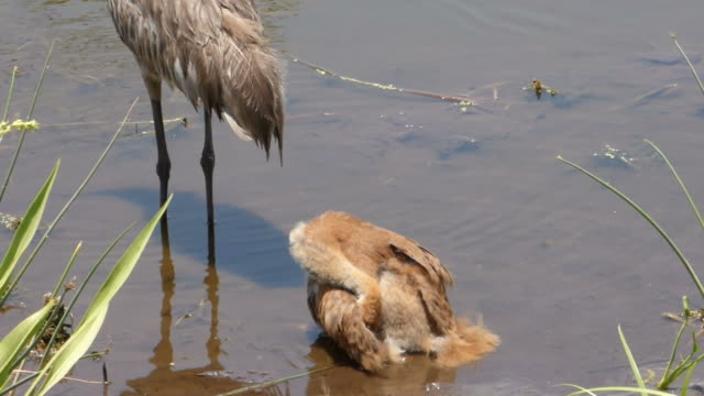 fuzzy sandhill crane chick grooming - sandhill crane stock videos & royalty-free footage