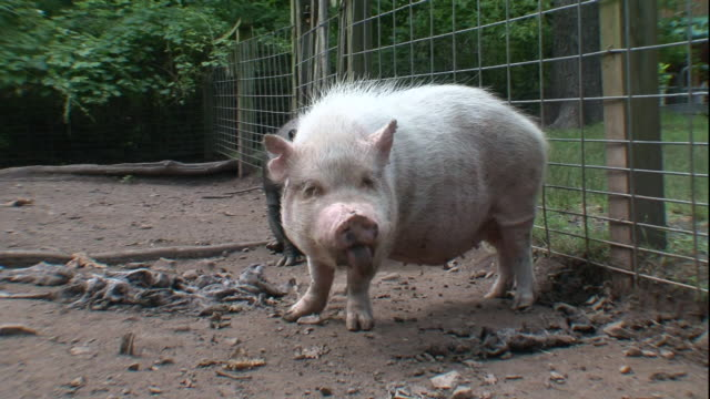 a fuzzy white pig stands in a dirt pen. - pig stock videos & royalty-free footage