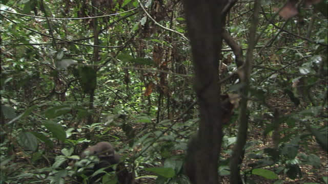 g. g. gorilla family moving into the woods of tropical jungle, congo basin, africa - area selvatica video stock e b–roll