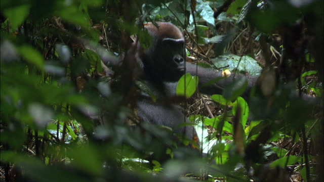 g. g. gorilla in the woods of tropical jungle, congo basin, africa - named wilderness area stock videos & royalty-free footage
