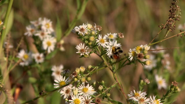 a gadfly gathers a daisy in the wind - manitoba stock videos & royalty-free footage