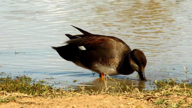 vidéos et rushes de canard chipeau - chasse aux oiseaux