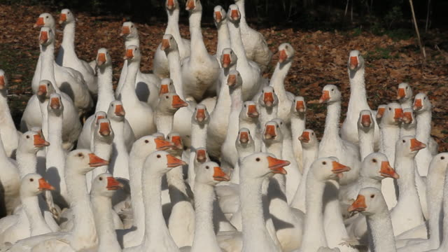 gaggle of geese, high angle - oca uccello d'acqua dolce video stock e b–roll
