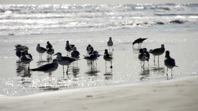 vídeos y material grabado en eventos de stock de gaggle de sanderlings - brightly lit