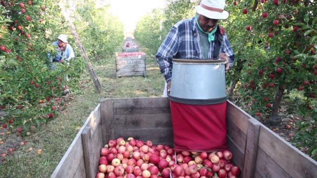 gala apples are picked and placed into crates by migrant workers in an orchard owned by rasch family orchards in grand rapids michigan us on tuesday... - lavoratore emigrante video stock e b–roll
